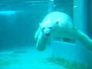 旭山動物園 ほっきょくぐま