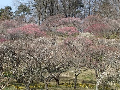 国営武蔵丘陵森林公園の梅
