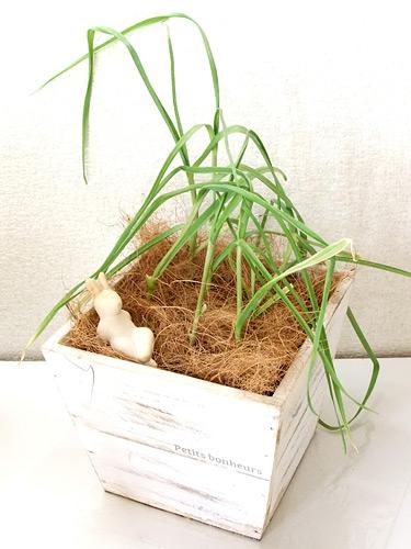 花くらす野菜くらす ニンニクの栽培キット