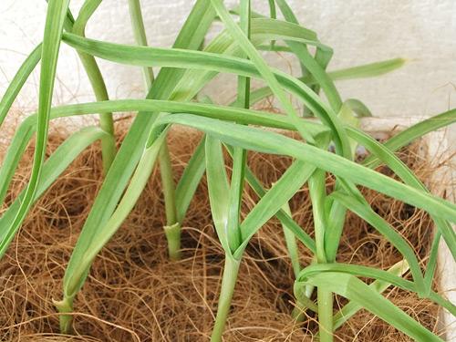 花くらす野菜くらす ニンニクの栽培キット 葉ニンニク