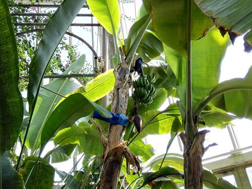 川口市立グリーンセンター 大温室 バナナ