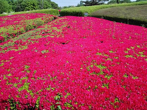 川口市立グリーンセンター つつじ山 ピンク