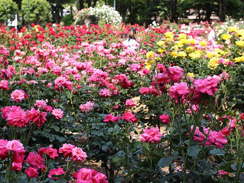 与野公園バラ園 色とりどりのバラ 赤・ピンク・黄色