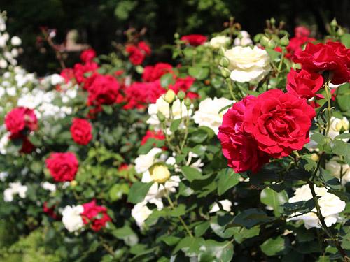 与野公園バラ園 色とりどりのバラ 赤・白