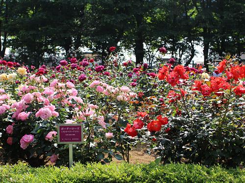 与野公園バラ園 色とりどりのバラ ピンク・赤・紫