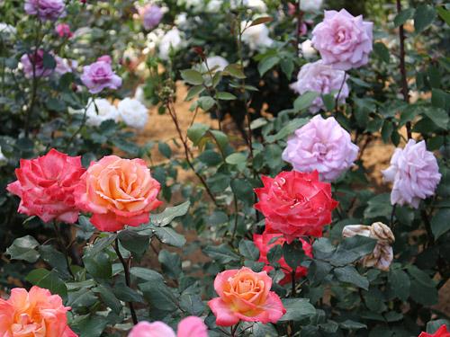 与野公園バラ園 色とりどりのバラ ピンク・オレンジ・紫