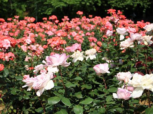 与野公園バラ園 色とりどりのバラ ピンク系