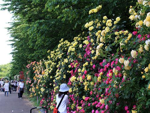 与野公園バラ園 黄と赤のつるバラ 北側