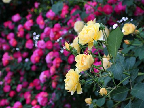与野公園バラ園 黄と赤のつるバラ 黄色とピンクのバラ
