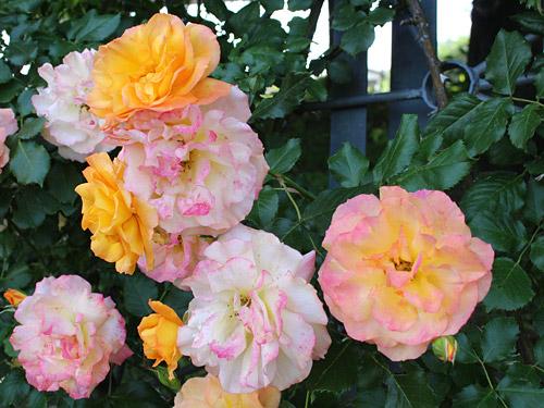 与野公園バラ園 黄と赤のつるバラ オレンジ系のバラ