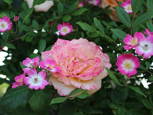 与野公園バラ園 ピンクのバラ・小花