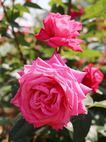 与野公園バラ園 ピンクのバラ 大輪