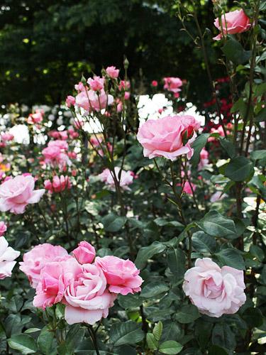与野公園バラ園 ピンクのバラ 長い