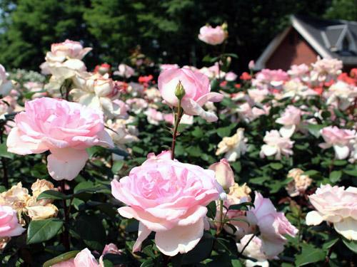 与野公園バラ園 薄ピンクのバラ